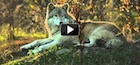Awesome-Wolf-Four-Letters-140