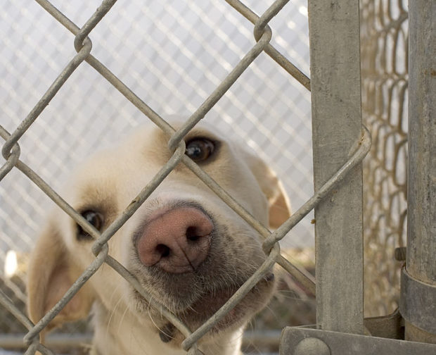 Dog_in_animal_shelter_in_Washington,_Iowa
