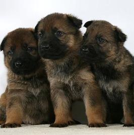 Puppies_s